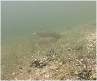 snapshot from bass spawning video